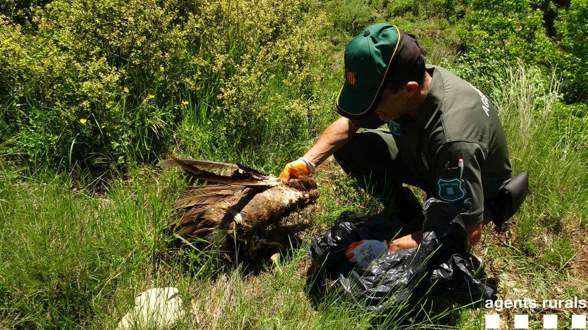 Trobat un voltor que podria haver mort electrocutat al Pallars Jussà