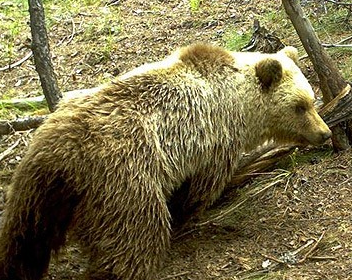 Unitat d'Aran reclama mesures de protecció per a la ramaderia pels atacs de l'ós