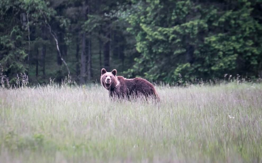Ecologistes i ramaders enfrontats per l'ós al Pirineu