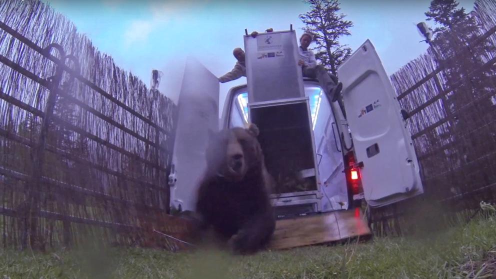 Podem demana reforçar la protecció de persones i animals pels atacs de l'ós bru al Pirineu