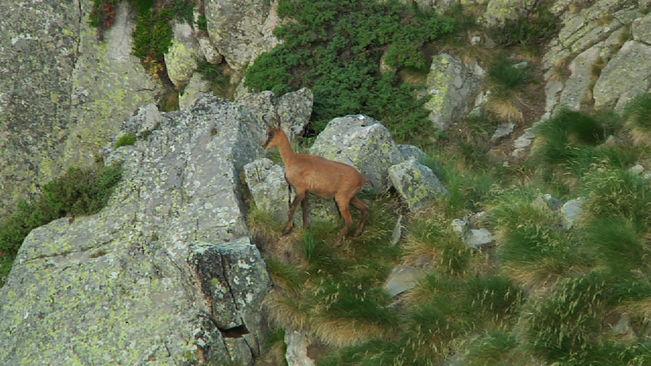 La Setmana de caça de l'isard permetrà abatre 96 animals