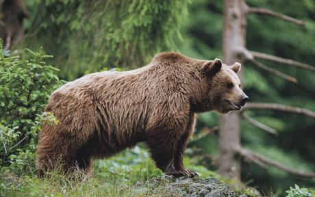 Unitat d'Aran insta a portar la problemàtica de l'ós al Parlament