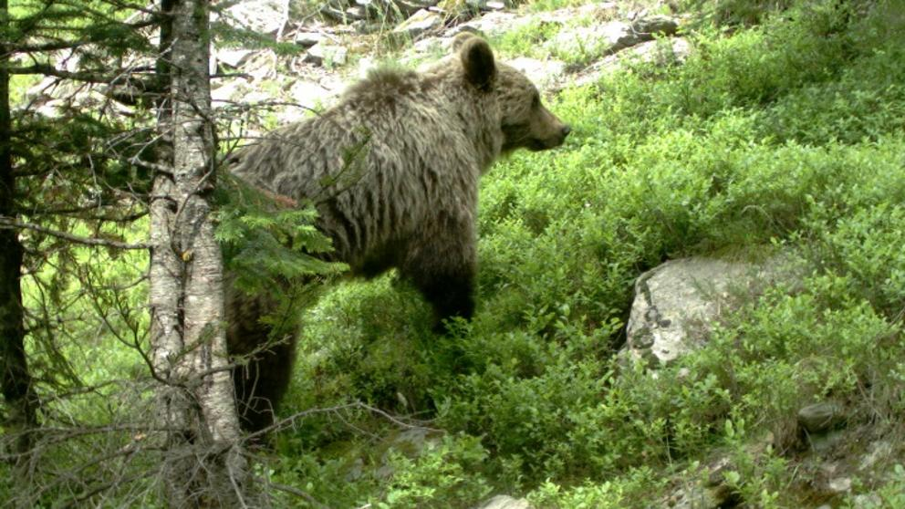 La Generalitat fa oïdes sordes a les demandes dels ramaders sobre els atacs de l'ós Goiat