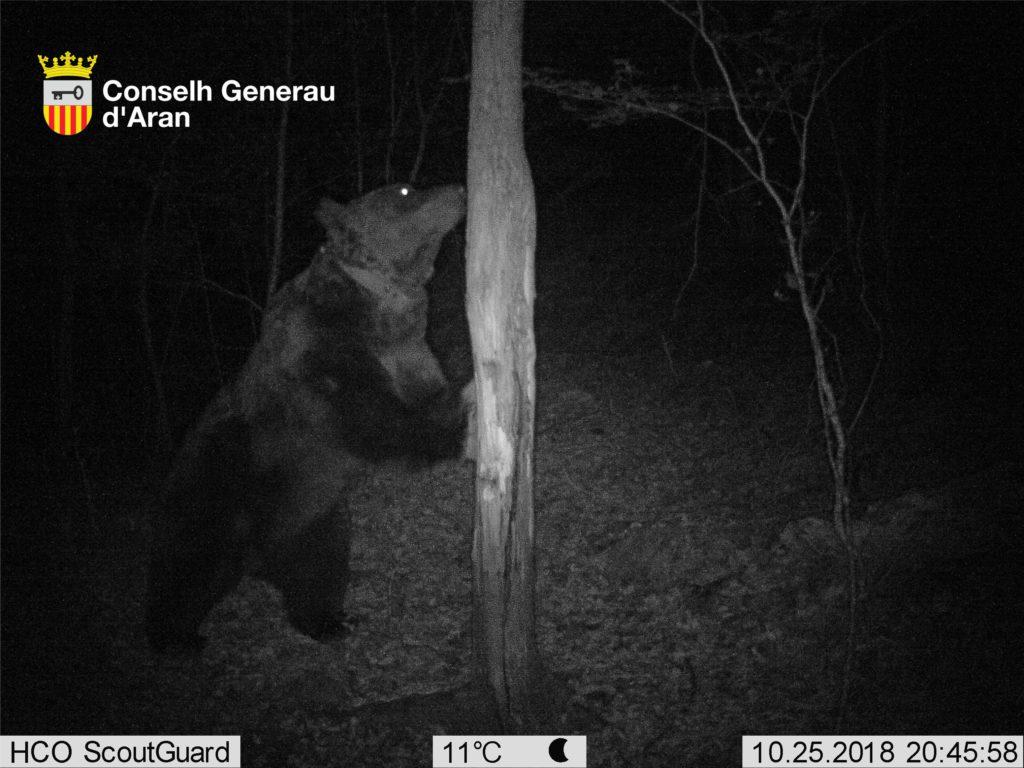 Nous atacs de l'ós Goiat a l'Aran