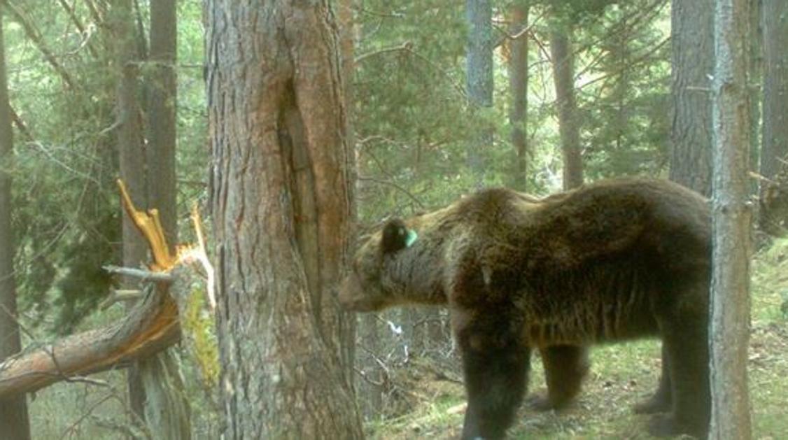 Els ramaders del Pallars Sobirà convoquen una manifestació a Llessui en contra de l'ós Goiat