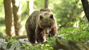 Preocupació per la presència de l'ós al Pallars i els ramaders el volen fora