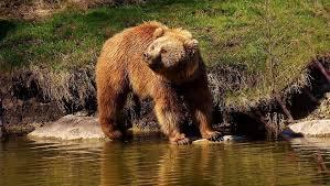 Els Joves Agricultors i Ramaders no volen a l'ós Goiat i reclamen indemnitzacions