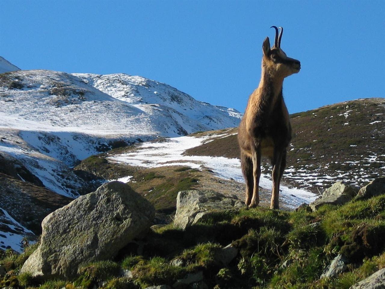 La setmana de la caça de l'isard permetrà abatre 168 animals