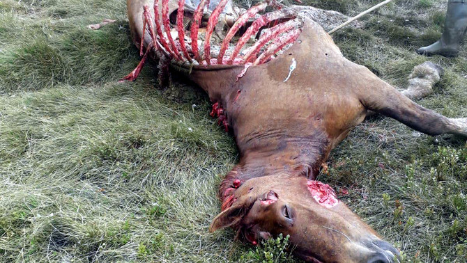 El síndic d'Aran demana la retirada dels óssos conflictius del Pirineu