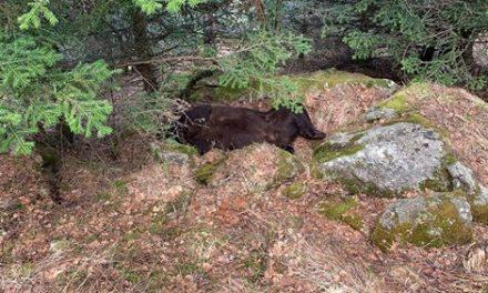 Ipcena sospita que l'ós Cachou no ha mort per causes naturals