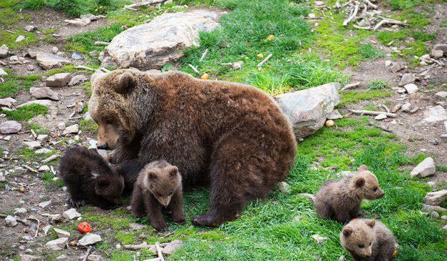 Neixen quatre cadells d'os bru a Naturlàndia